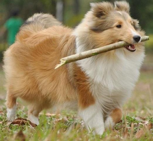 喜乐蒂牧羊犬的性格特点,买喜乐蒂前须知